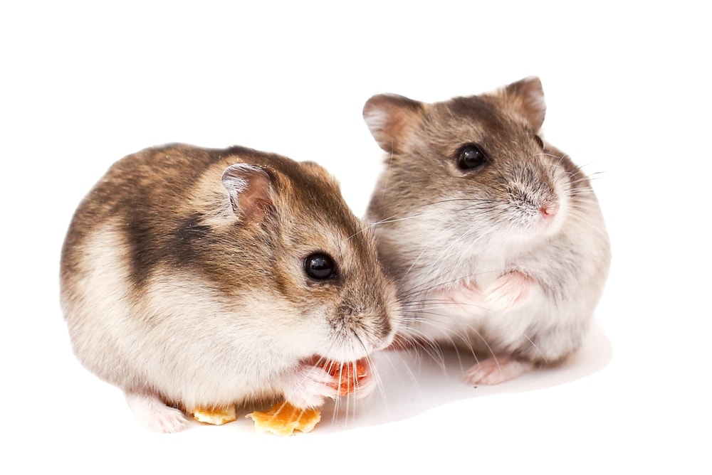dwarf hamsters eating