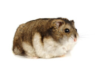 How to Know if Your Hamster is Too Fat