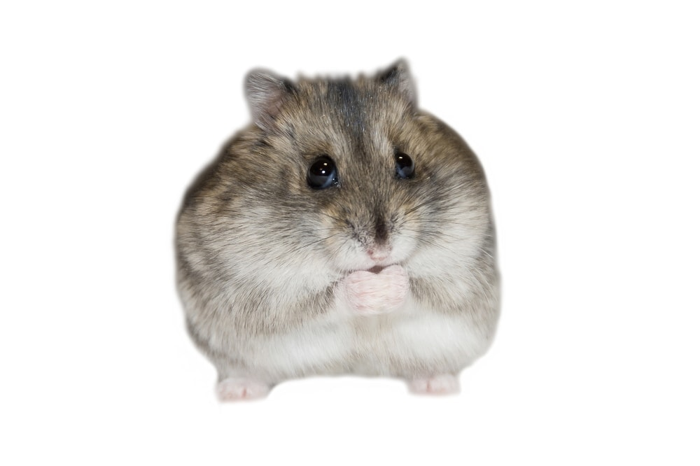 fat hamster white bg