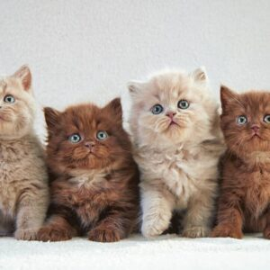 How to Tell If a Kitten Will Have Long or Short Hair?