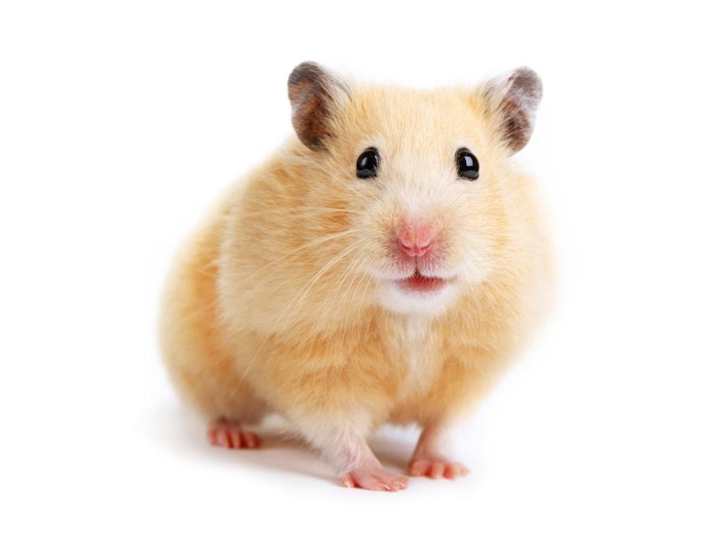 golden hamster 2