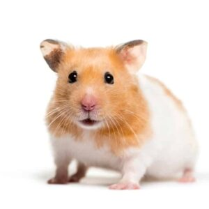 Hamster Care Guide - Information & Costs
