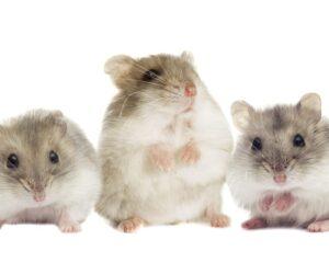 gray hamsters