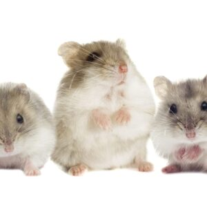 Is a Hamster a Rodent?