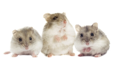 gray hamsters