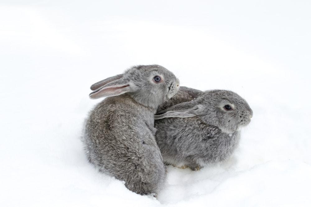 gray rabbits snow