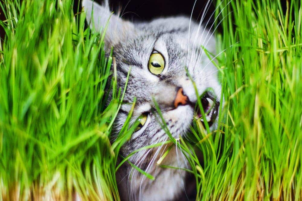 grey cat hides in a grass