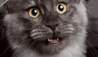 grey cat meow