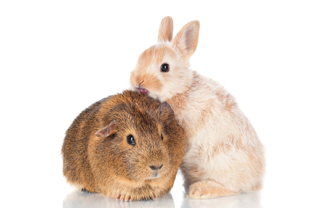 guinea pig and bunny