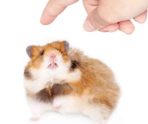 hamster about to bite 1
