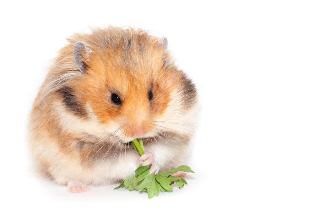 hamster eat 2