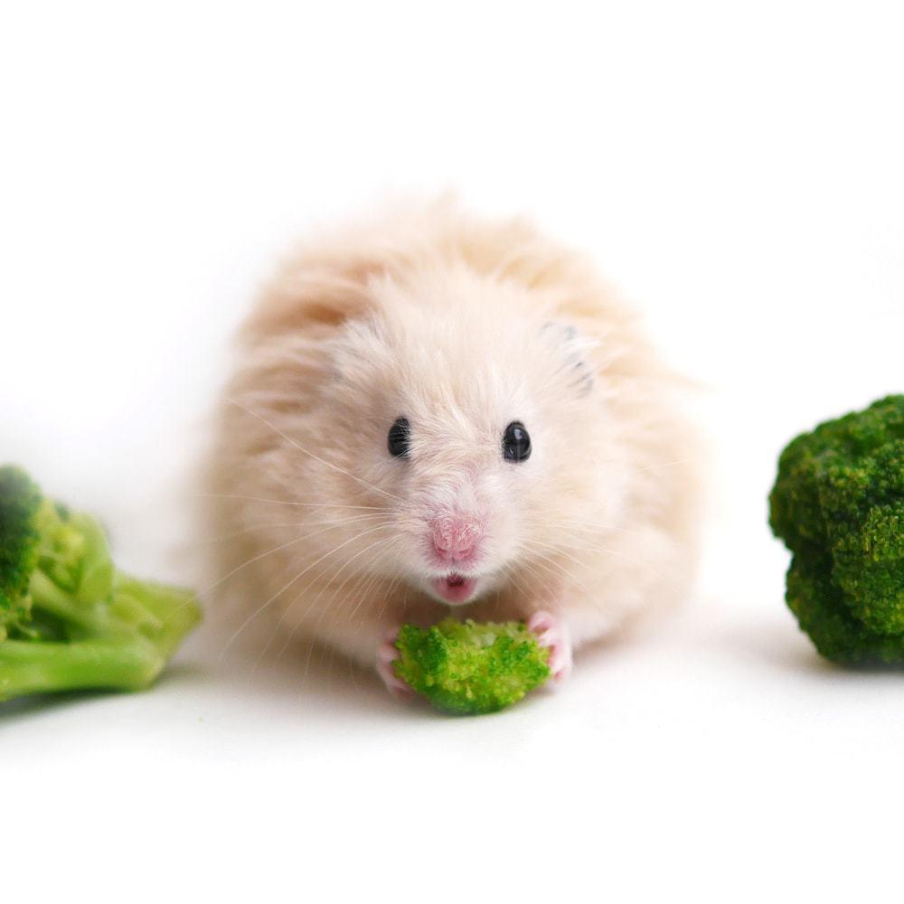 hamster eat