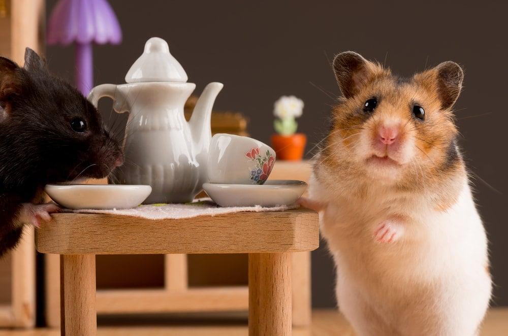 hamster eating 1