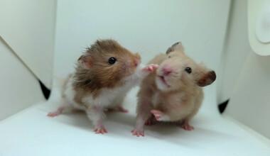 hamster fight