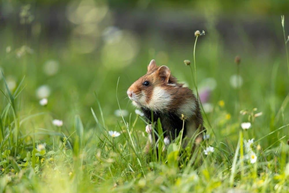hamster grass 1