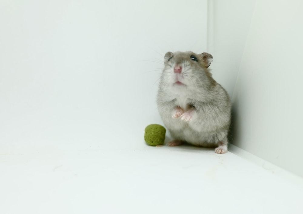 hamster in corner
