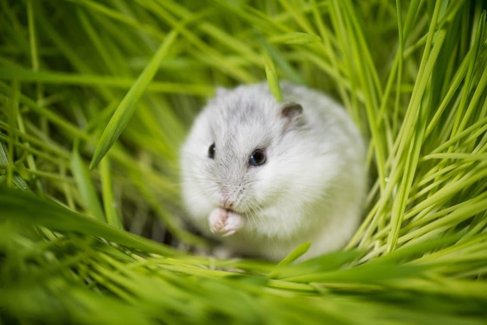 hamster in grass