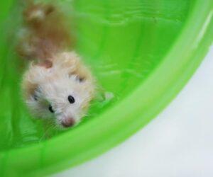 hamster swim