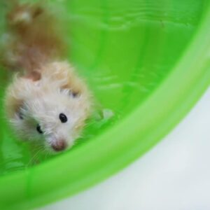 Can Hamsters Swim & Do They like it?