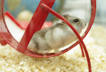 Hamster Wheels: Why Your Hamster Needs One