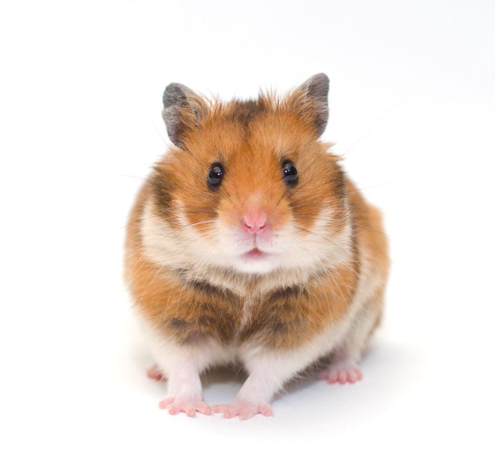hamster whit bg
