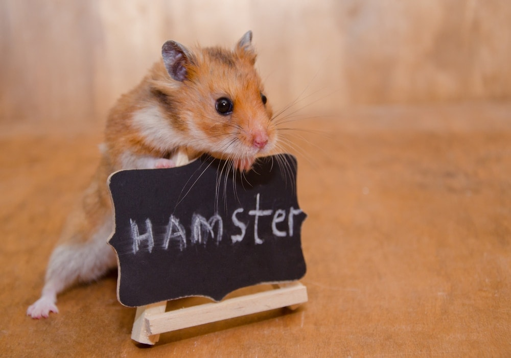 hamster with sign