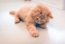 Laser Pointer for Cats: Is It Safe?