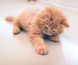 kitten and laser