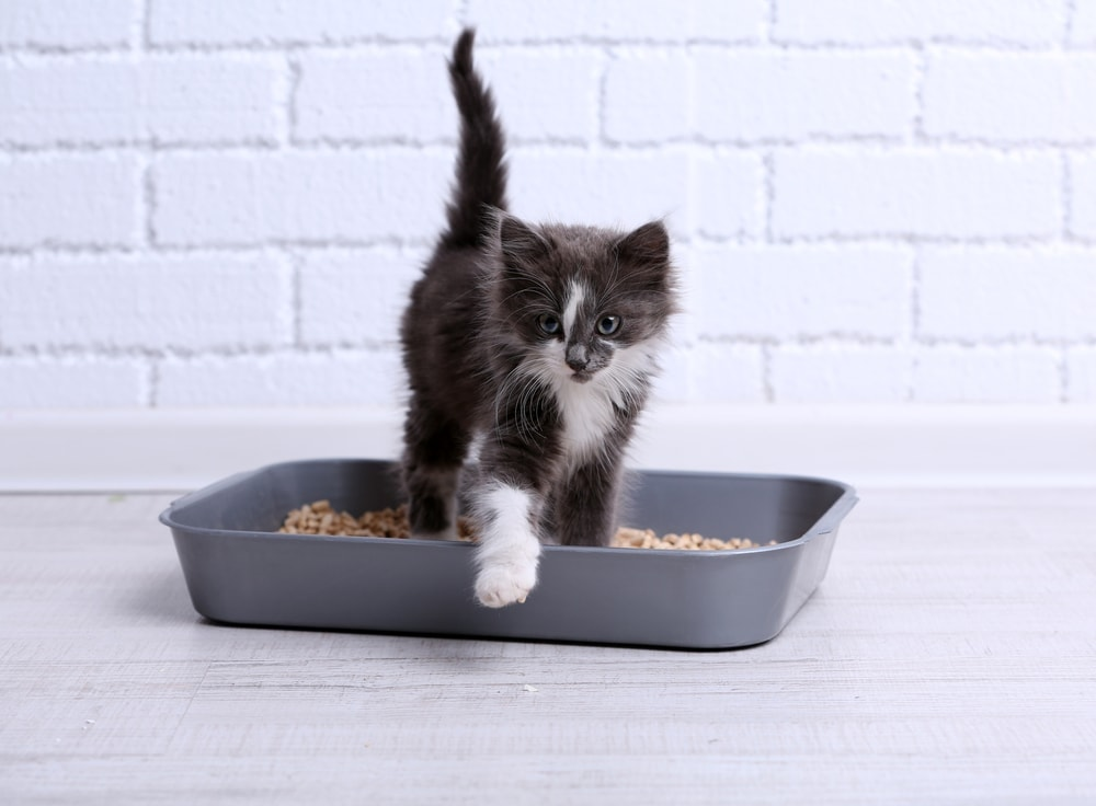 kitten is peeing in a litter