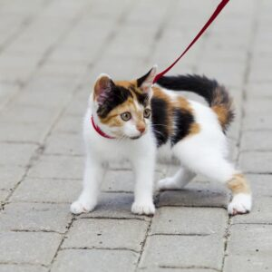 How to Walk Your Cat on a Leash Safely