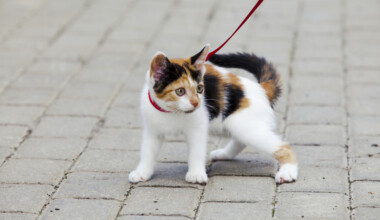 kitten leash 2