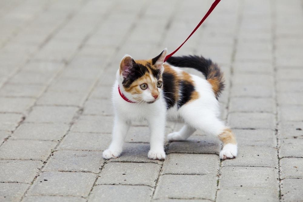 kitten leash 2