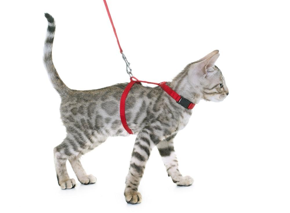 kitten leash