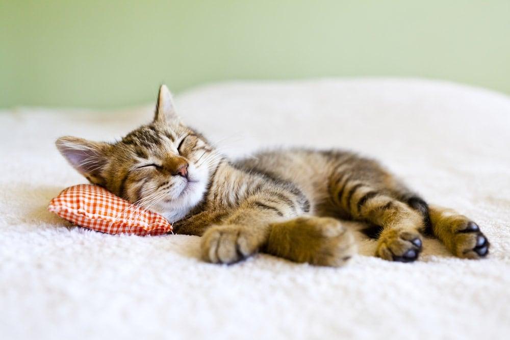 kitten sleep bed