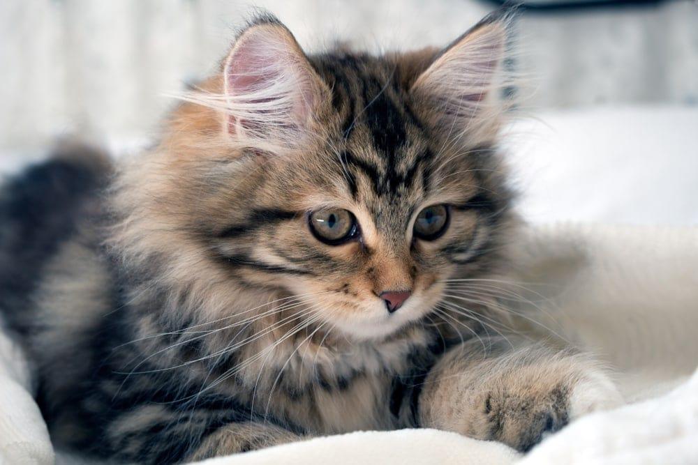 little kitty grey