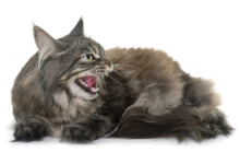 Cat Yowling: What Does It Mean?