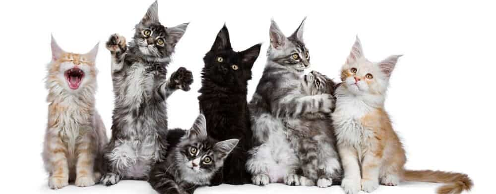 maine coon kittens e1584773551982