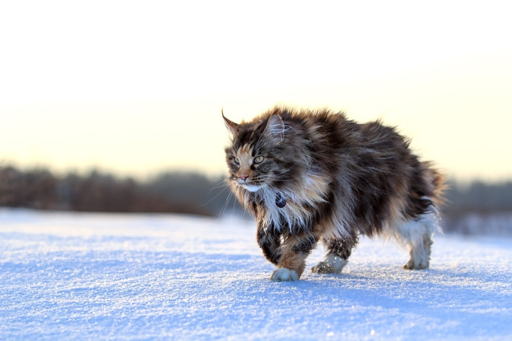 maine coon winter