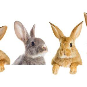 Pet Rabbit Care Guide & Information