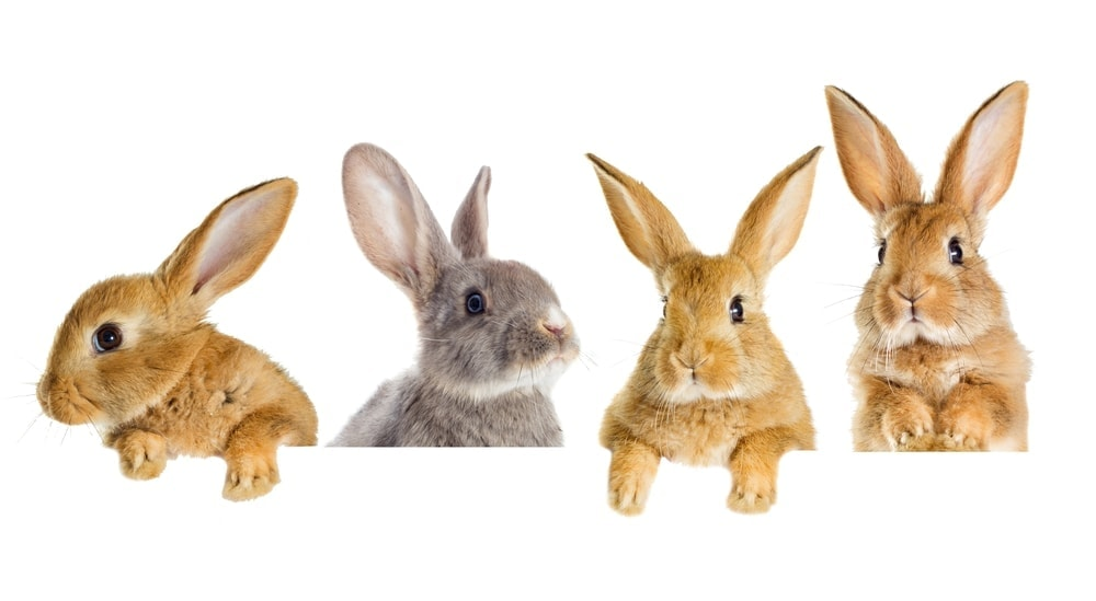 pet rabbit care guide