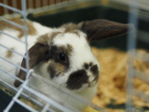 pet rabbit in cage 1