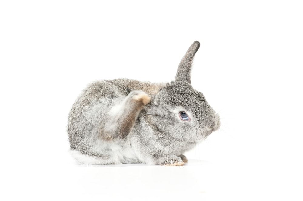pet rabbit scratch