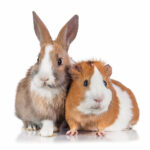 Can Pet Rabbits & Guinea Pigs Live Together?