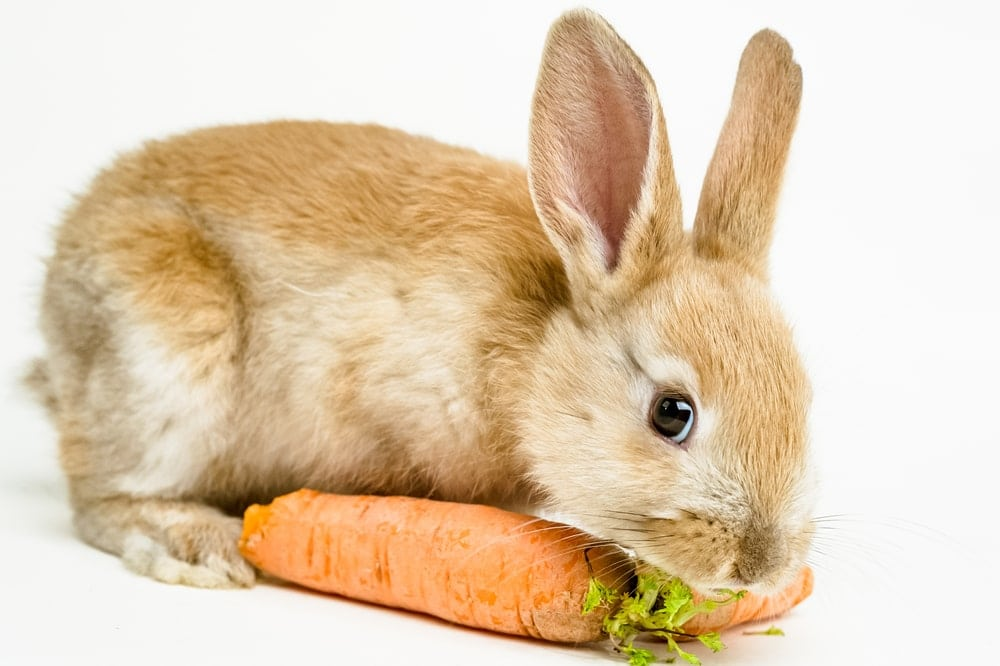 rabbit eat carrot