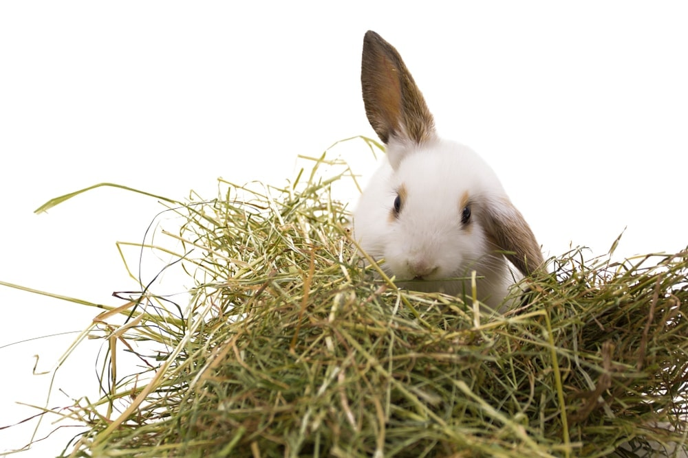rabbit eat hay