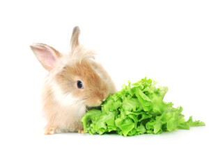 rabbit eat sallad