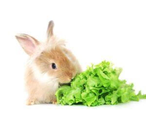 rabbit eat sallad