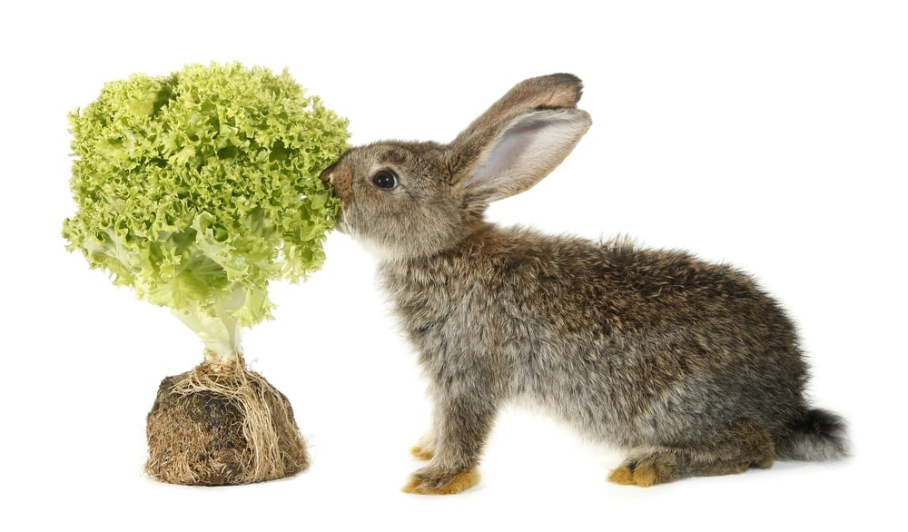 rabbit eating plant