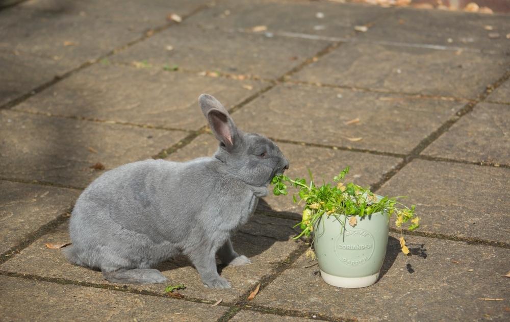 rabbit plant