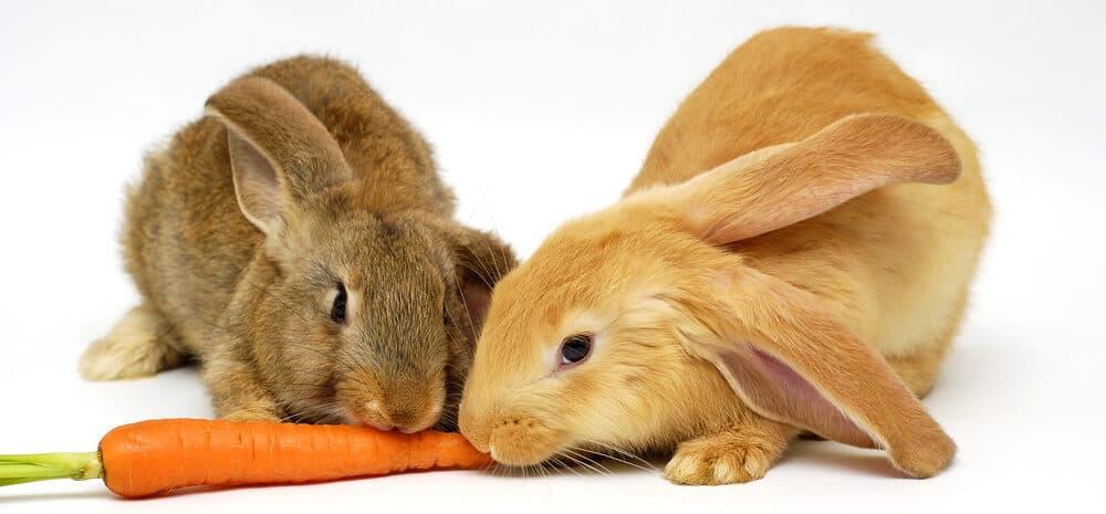rabbits eat carrot 1 e1585479579969